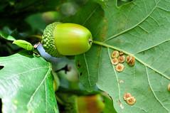 DSC_0128 - ... from little acorns... (SWJuk) Tags: uk autumn england macro home closeup oak nikon lancashire autumncolours acorn autumnal burnley d90 2013 towneleypark nikond90 swjuk oct2013