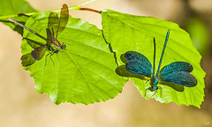 Couple de Calopteryx. (gille33) Tags: macro nature insect dragonfly insecte libellule libellula calopteryx odonata odonate sonydslra900 mygearandme mygearandmepremium mygearandmebronze mygearandmesilver mygearandmegold mygearandmeplatinum mygearandmediamond blinkagain gillesremus photographyforrecreationeliteclub vision:text=050