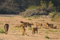DSC_8024 (Arno Meintjes Wildlife) Tags: africa southafrica wildlife lion safari bigcat predator krugernationalpark krugerpark big5 pantheraleo arnomeintjes