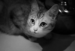 _DSC0717bw () Tags: china blackandwhite bw pet animal cat 50mm eyes kat shanghai tabby kitty gato   macska  gatto kot kissa 18d    af5018d pisic  d7000