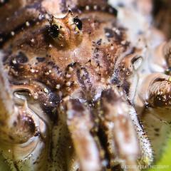 metaphalangium propinquum (Adriano Perla) Tags: macro eye photoshop canon insect eos spider eyes italia occhi ojos perla puglia adriano 580ex insetto lensreverse ragno lightroom turi aracnofobia 60d aracno 580exii canoneos60d racno adrianoperla perlaadriano metaphalangiumpropinquum potd:country=it