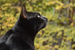 Black Cat (Hikiko-Chan) Tags: italy milan macro fall yellow cat blackcat leaf winer leafs ree