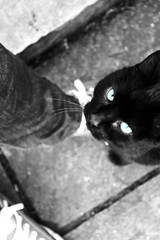 The black cat (hughashton_photography) Tags: white black cute green tom cat nose photography eyes kitten pretty thomas bad ears luck witches paws nosey