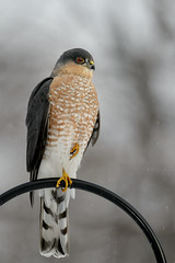 Sharp-shinned Hawk_41273.jpg (Mully410 * Images) Tags: winter snow cold bird ice backyard hawk birding raptor birdwatching birder birdsofprey sharpshinnedhawk accipiterstriatus accipiter
