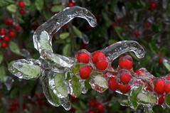 Icy Yaupon Holly (Ken'sKam) Tags: winter nature december texas berries freezing icy icicles freezingrain afsvrmicronikkor105mmf28gifed yauponholly rockwalltx