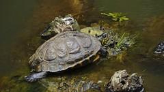 Tigre d'gua. Ser ???? (srie com 2 fotos) (Parchen) Tags: gua lago doce tartaruga trachemysscripta trachemysscriptaelegans parchen carlosparchen tigredguaamericana tigredeguaamericana