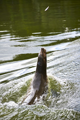 Longleat 20-09-13 Feeding Time Sea Lion (Tbant) Tags: sea water animal animals train nikon feeding lion sealions longleat mammals d800