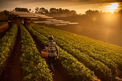 Beautiful strawberries farm in winter at Chiangmai : Thailand (wolfmaster13) Tags: nature sunrise thailand landscapes farm fresh thai chiangmai