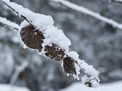 Carnet d'hiver 16 (JMVerco) Tags: winter white snow leaf hiver neve neige foglia inverno bianco blanc feuille coth dragondaggerphoto