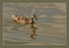 Mallard's Reflection (Sergei P. Zubkov) Tags: lake july mallard 2013 kirillov