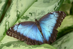 Blue Morpho (Rene Mensen) Tags: beauty butterfly wings nikon bleu morpho bluemorpho d5100