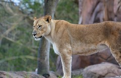 Lioness (Steve Selwood) Tags: orlando disney lioness themepark animalkingdom