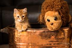 Spike & Chico (Scott Shingler Photography) Tags: orange pet cute cat toy monkey bucket stuffed kitten feline tabby kitty bin domestic copper spike chico