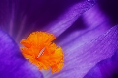 Crocus (Paul Sibley) Tags: flower photoaday nikond60 3652014