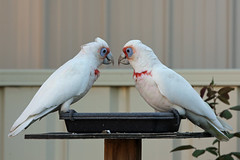 Long Billed Corella's (Aaron206) Tags: hello nature beauty birds pairs australianbirds corella longbilledcorella nativebirds australianfauna
