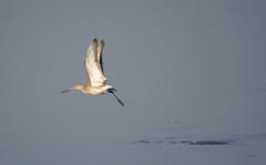 Godwit - flying ([s e l v i n]) Tags: blue india lake reflection bird birds fly flying action flight bombay serene mumbai placid actionphotography godwit birdphotography bhandup selvin bhanduppumpstation