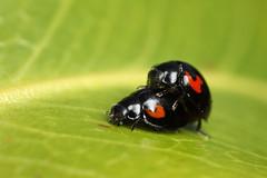 Pine ladybirds mating #2 (Lord V) Tags: macro bug insect ladybird mating pineladybird
