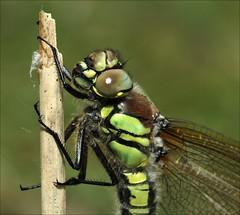 Hairy Dragonfly, Brachytron pratense (DebbieH82) Tags: hairydragonfly brachytronpratense canoneos7d 04052014messingham