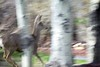 (126 of 365) Impression of a Deer in the Forest (picsfrommt) Tags: bozeman deer aspens 365 impressionist day126