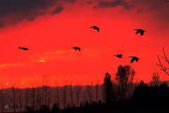 Sweet Sunset Song (leola.durant) Tags: trees sunset red sky ontario black water birds geese pom purple fowl platinumpeaceaward