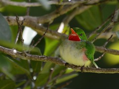 Jamaican Tody (Robin Red Breast) (Jamdowner) Tags: bird birds manchester jamaica endemic birdlife tody jamaicantody todustodus birdlifejamaica marshallspen
