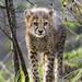 Standing cheetah cub