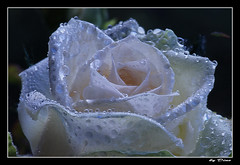 52-au petit matin (gio.dino3) Tags: rose rosa rugiada goutte goccia petalo gouttes rose petale giodino3 goccies