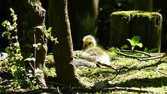 duckling (Erich Hochstger) Tags: light shadow baby bird animal licht duck nice waterbird ente schatten tier vogel kken wasservogel dukling entenkken lieb junges lieblich