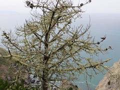 Lichen-covered conifer (Joel Abroad) Tags: california tree marincounty lichen muirbeach conifer