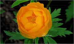 Name this Flower (sh10453) Tags: flowers usa macro closeup gardening michigan panasonic oakpark lf1