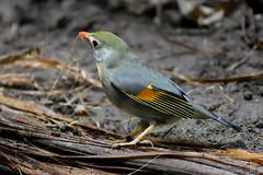 Bird Gathering Nest Material (Bri_J) Tags: uk bird zoo nikon cheshire chester chesterzoo d7200