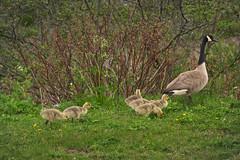 Of Goose And Gander (Adam Curran) Tags: new canada green bird grass saint animal yellow john spring outdoor brunswick goose newbrunswick gosling bushes canadagoose saintjohn nbphoto nikond3300 d3300
