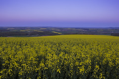 Blue night covers the golden day (Fabien Husslein) Tags: light france colour field jaune landscape gold evening countryside dusk bleu agriculture paysage soir lorraine campagne crepuscule champ est cotes moselle rapeseed colza