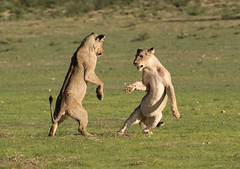 Come on, let's play! (jaffles) Tags: park playing nature southafrica wildlife natur lion earlymorning olympus fighting predator kalahari ktp sdafrika lwe safri transfrontier raubkatze kgalagadi
