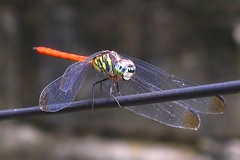 DragonFly_1 (whisky sierra) Tags: dragonfly flyinginsect smallinsect