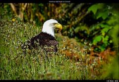 American Bald Eagle on Ground (episa) Tags: ca camera canada britishcolumbia vancouverisland porthardy goldeneagle americanbaldeagle nikond810 may2016 nikonafs200500mmf56eedvr