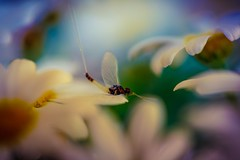 The daisy and the mayfly (Brant He. Fageraas) Tags: flowers light flower macro colors canon flora colorful dof bokeh naturallight daisy flyfishing mayfly shallowdof flowerart flyfishingart
