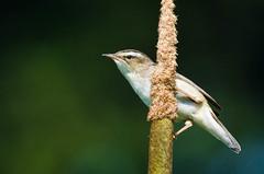 untitled (32 of 46)-1.jpg (Michael Adams in Amsterdam) Tags: bird sedgewarbler