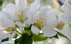 Apple Blossoms 1 of 3 (Gerry Marchand) Tags: white flower apple blossoms olympus omd em5