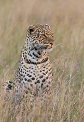 Leopardo (dragoms) Tags: africa mammal leopardo kenya leopard mara maasaimara frica pantherapardus qunia ilkeliani dragoms