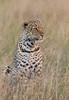 Leopardo (dragoms) Tags: africa mammal leopardo kenya leopard mara maasaimara áfrica pantherapardus quénia ilkeliani dragoms