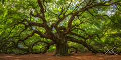 The Ellcrys - Angel Oak Tree Pano (Mike Ver Sprill - Milky Way Mike) Tags: old panorama plant tree green art fall sc mike nature beautiful leaves angel forest landscape island photography bay michael is spring big crazy amazing oak nikon photographer angle outdoor live pano branches south fine wide large surreal lord panoramic historic foliage number charleston just rings age massive serenity carolina serene years 28 greatest limbs botany society hobbit 1500 johns folliage mv ver edisto d800 1424 sprill versprill ellcrys