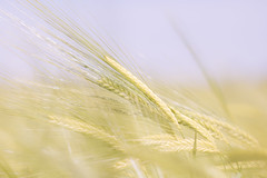 En pi (S@ndrine Nel) Tags: field barley closeup cereals champ orge pi crales nelsandrine