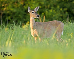 IMG_1141xt (4President) Tags: whitetailed deer