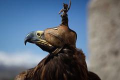 Golden eagle (Lil [Kristen Elsby]) Tags: canon5dmarkii centralasia kyrgyzstan travelphotography falconry eagle goldeneagle bokonbaevo bokonbayevo birdsofprey raptor topf25 topv1111