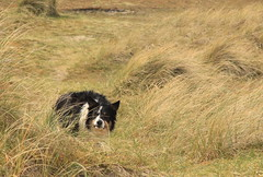 Tommy in the Dunes (sharongellyroo) Tags: seaside holidays dunes norfolk tommy bordercollie wintertononsea