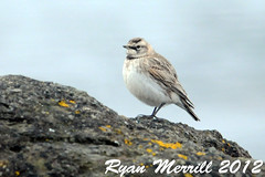Horned Lark (rjm284) Tags: birds washington birding wa neahbay hola clallamcounty hornedlark rjm284