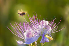 ... (Theophilos) Tags: flower nature bee crete caper rethymno
