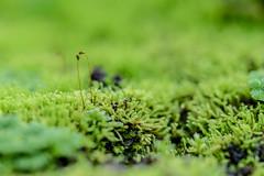 Two Species (*Capture the Moment*) Tags: macro green nature munich mnchen moss dof bokeh details natur depthoffield grn botanicgardens schrfentiefe 2016 botanischergarten farbdominanz sonya7ii sonysel90m28g