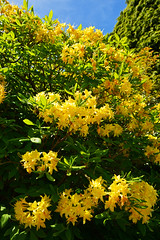 9196 Gelber Rhododendron. Yellow Rhododendron. (Fotomouse) Tags: nature yellow garden bush flickr outdoor natur gelb rhododendron shrub garten strauch busch draussen strucher fotomouse
